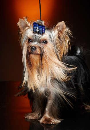 yorkie: Cute little yorkie dog. Studio shoot.