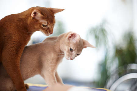 cats playing: Two red cats playing together.
