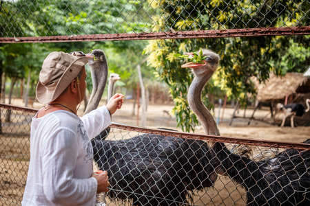 feeds: Man feeds two ostrich in a cage.