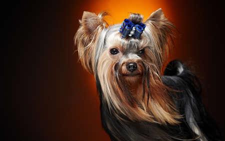 뉴욕 작은 강아지의 초상화를 닫습니다. 스톡 콘텐츠
