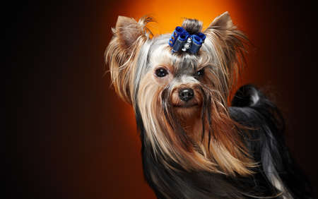 Close-up portret van york kleine hond. Stockfoto
