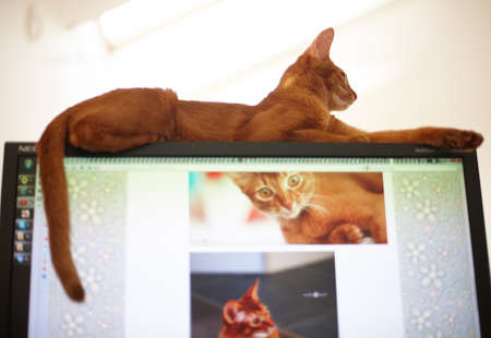 frisky: Portrait of red cat.