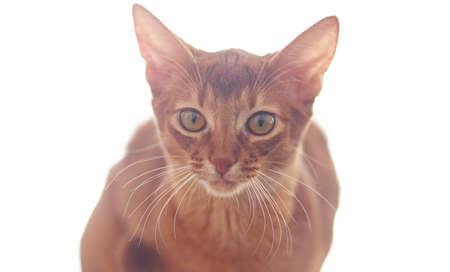 frisky: Portrait of cute little red cat.