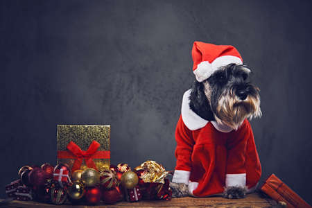 funny schnauzer dog dressed in christmas dress on a wooden box with xmas garland balls over