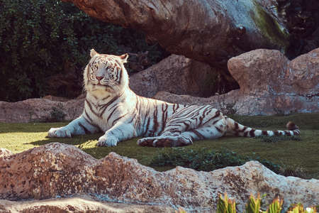 White Bengal tiger sits in the shade on the park in the national zoo, resting on a hot summer day.