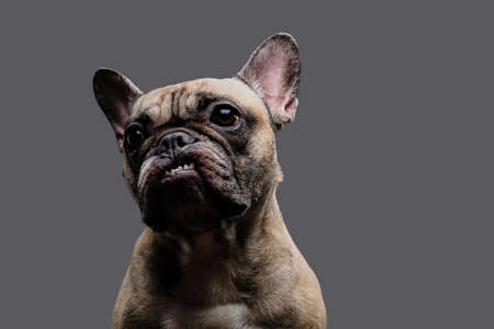 Close-up photo of a growling pug on gray background. Stock Photo