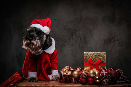 Cute Scottish terrier wearing Santas costume sitting on a wooden pallet surrounded by gifts and balls at Christmas time. Stock Photo