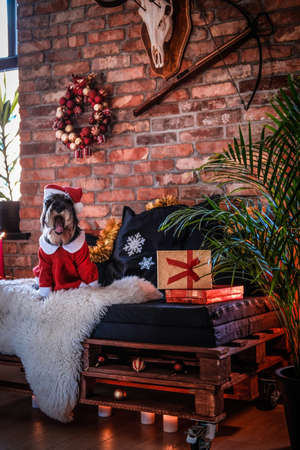 Cute Scottish terrier wearing Santas costume sitting on a sofa in a decorated apartment with loft interior at Christmas time. Stock Photo