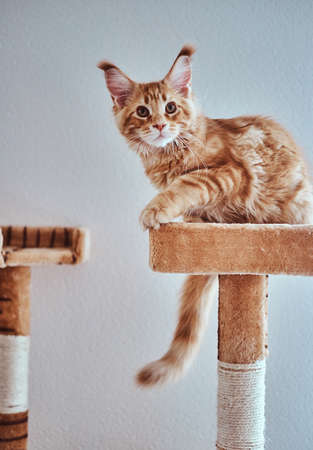 Adorable ginger maine coon kitten is relaxing on special cats equipment.