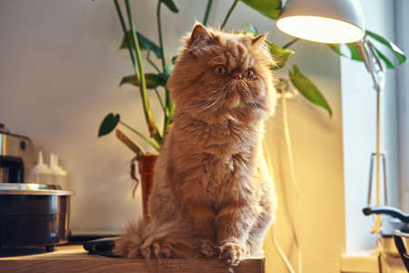 Adorable persian cat is sitting on the table under the lamp.