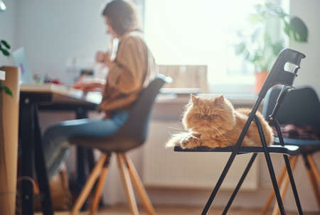 Adorable persian cat is chilling on the chair while his mistress is working at the desc. Banco de Imagens