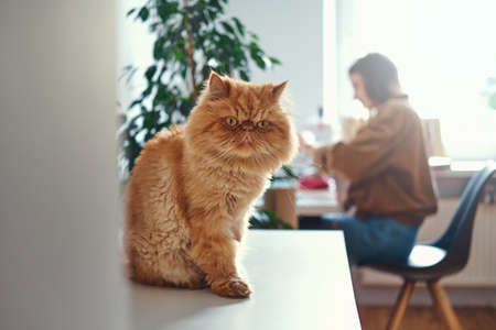 Cute ginger cat is sitting on the table while his mistress is working at the table.