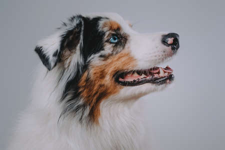 Close up photography of cute and cheerful australian dog with colourful fur in white background.