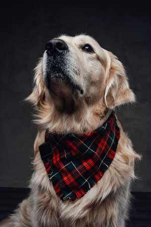 Cute golden retriever with patterned scarf in dark background