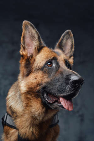 Headshot of purebred german shepherd against dark background Фото со стока