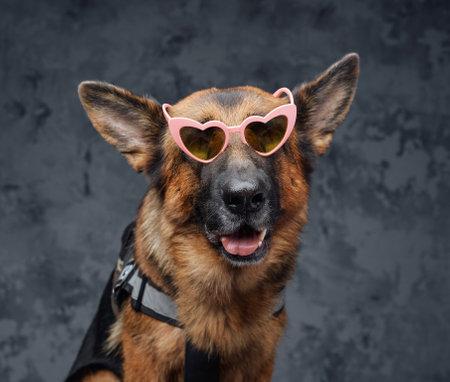 Stylish german sheepdog with pink sunglasses against dark background