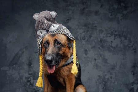 Cute german shepherd with winter hat against dark background
