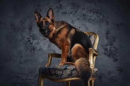 Brown german sheepdog sitting on chair against dark background