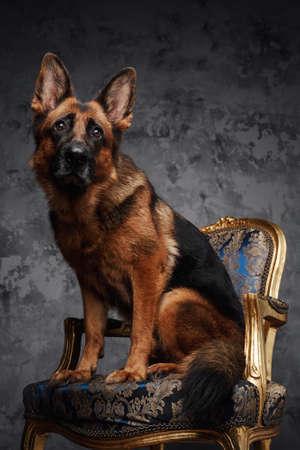 German shepherd sitting on chair against dark background Фото со стока