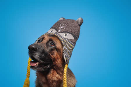 Funny german sheepdog with winter hat isolated on blue