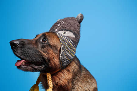 Canine pet with winter hat against blue background
