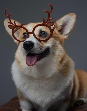 Joyful little dog with reindeer eyewear against gray background Фото со стока