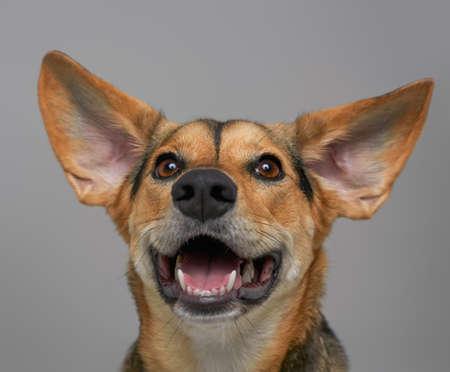 Joyful canine pet smiling against light gray background Фото со стока