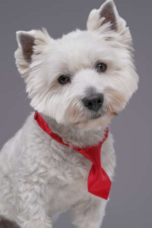 Funny white terrier doggy with red necktie isolated on gray