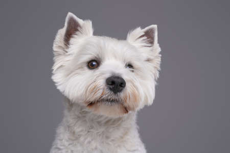 West highland terrier with white fur against gray background Фото со стока