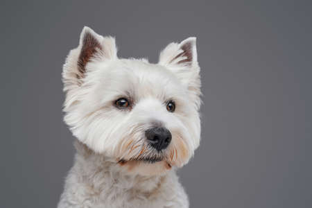 Portrait of white fluffy terrier doggy against gray background