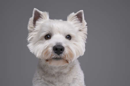 Headshot of friendly white terrier dog against gray background Фото со стока