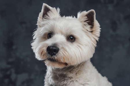 Portrait of white fluffy terrier doggy against dark background