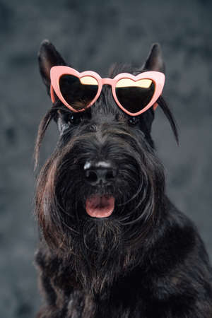 Panting fashion doggy with sunglasses against dark background Фото со стока