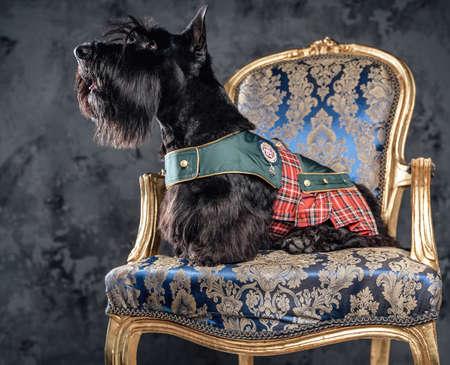 Stylish black scottish dog sitting on luxurious armchair