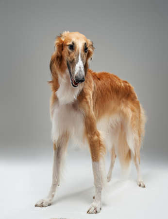 Purebred persian greyhound doggy with fluffy peach fur