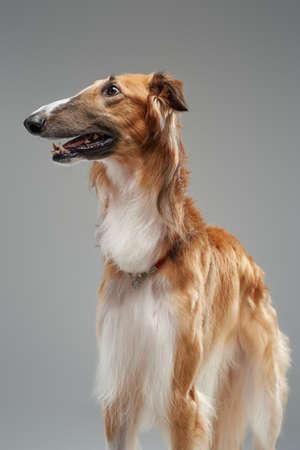 Brown persian greyhound standing against grey studio background