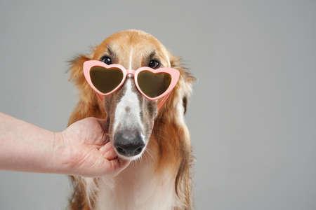 Fashion persian greyhound dog with heart shaped sunglasses Фото со стока