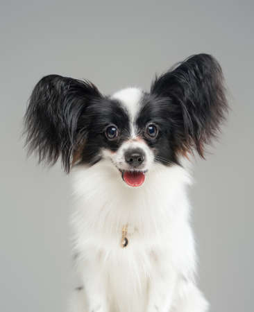 Portrait of cute black white papillon dog isolated on grey