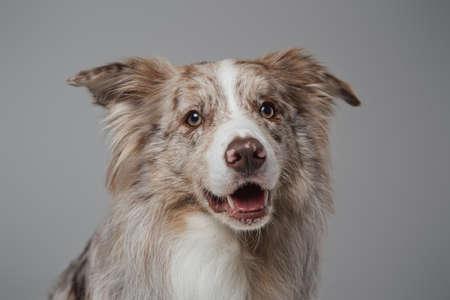 Beige border collie dog with fluffy fur against grey background