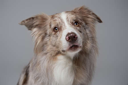Purebred england border collie with fluffy beige fur