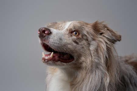 Cheerful scotland sheepdog with fluffy fur against grey background Фото со стока