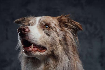 England purebred sheepdog with fluffy fur against dark background Фото со стока