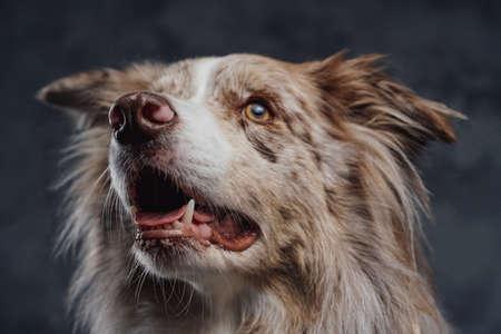 Furry pedigreed border collie dog against dark background Фото со стока