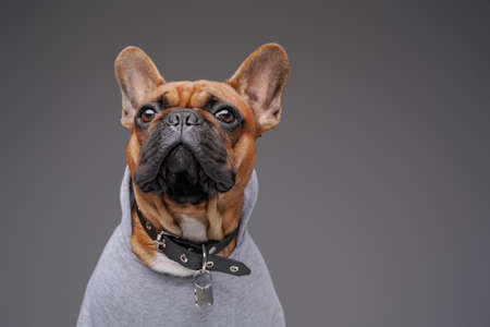 Stylish french bulldog with collar against gray background