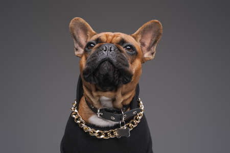Brown french bulldog with golden chain in black sweater