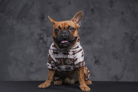 Fashion brown bulldog dressed in sweater against dark background