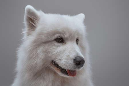 Headshot of white samoyed dog against gray background Фото со стока