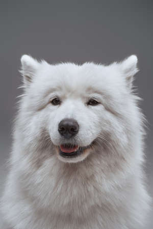Pedigreed russian dog with fluffy fur isolated on gray