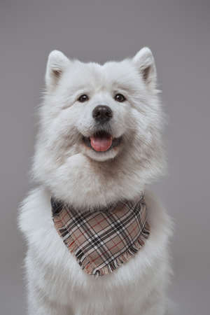 Samoyed dog with fluffy white fur and neckerchief