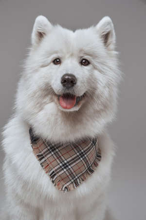 Russian panting dog with white fur and neckerchief